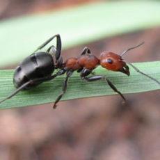 Dedetização de Formigas em Sorocaba