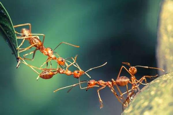 Como acabar com as formigas?