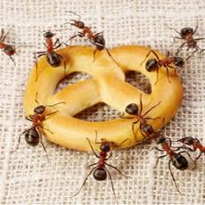 Como manter as formigas longe da cozinha?